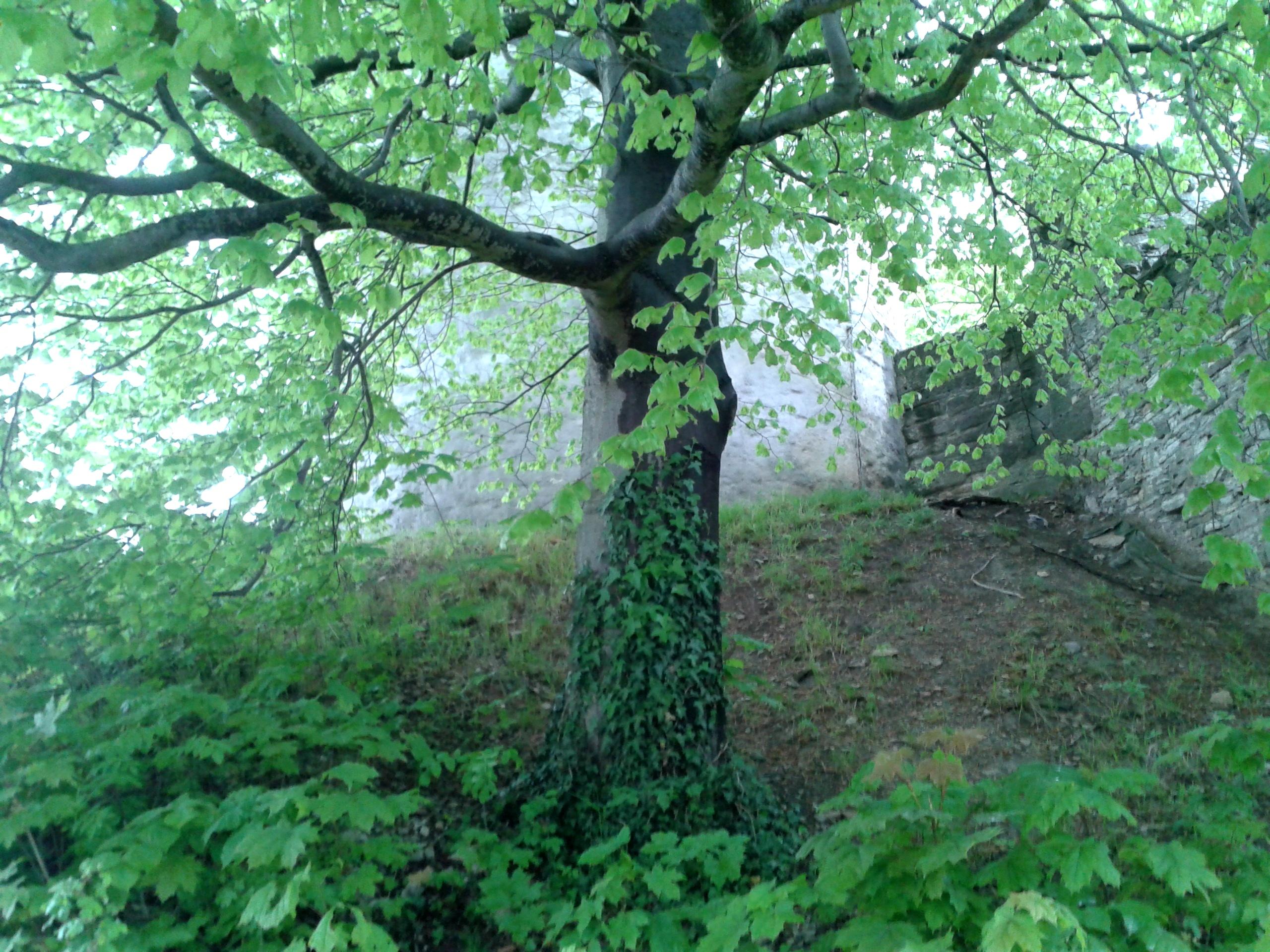 An old tree in the 'Burg Plesse' in Germany, near Goettingen.