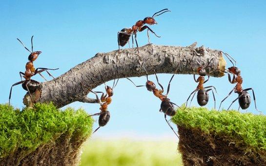 Mieren-teamwork